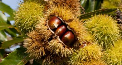 Case, nidi e tane – Il riccio della castagna